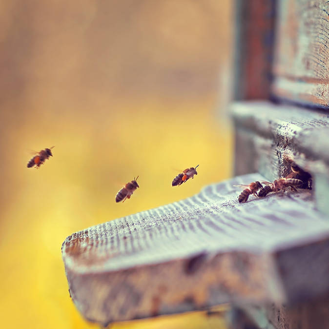 Bees coming back home